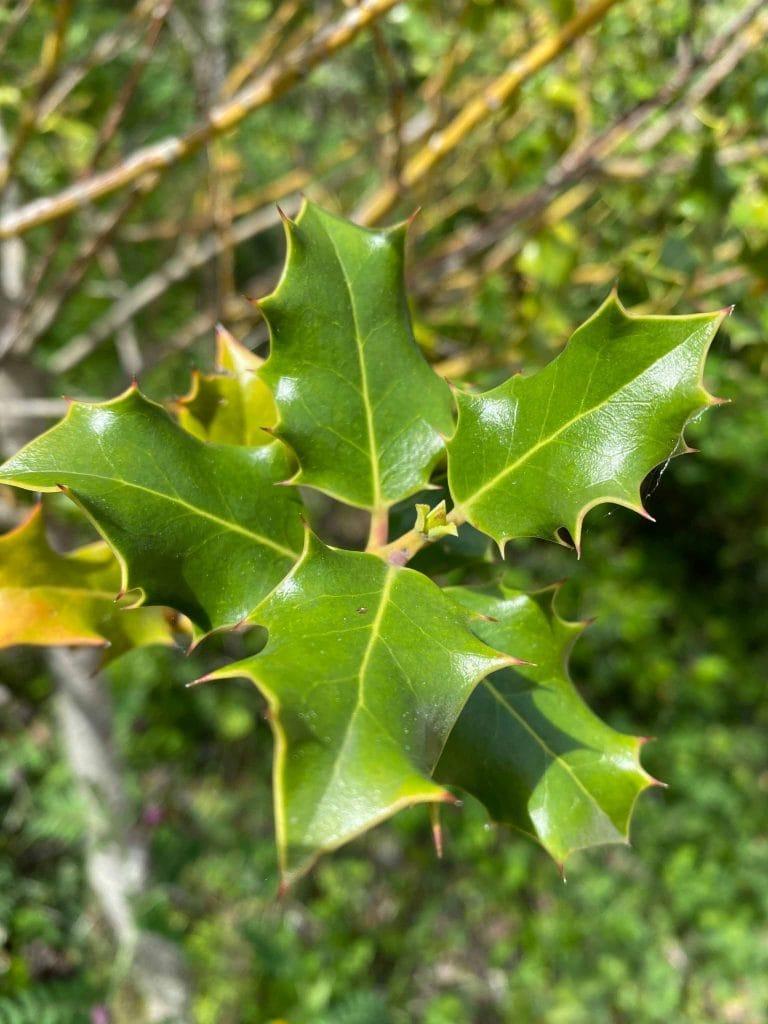 Acebo. Ilex aquifolium