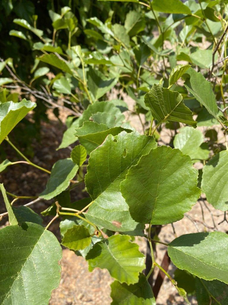 Aliso. Alnus glutinosa