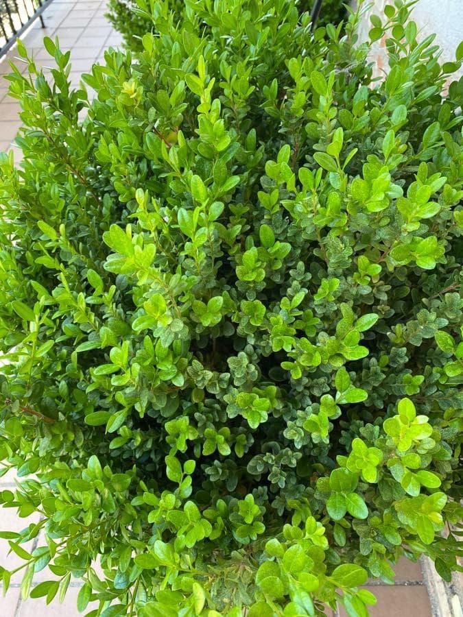 Boj. Buxus sempervirens