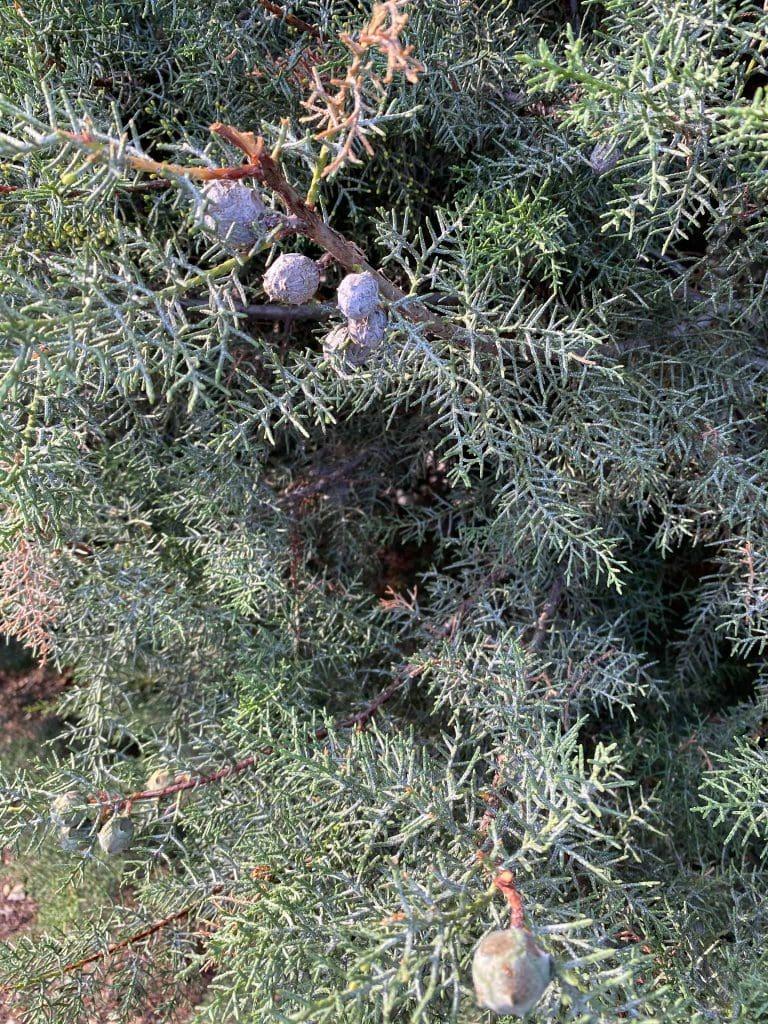 Cipres de arizona. Cupressus arizonica