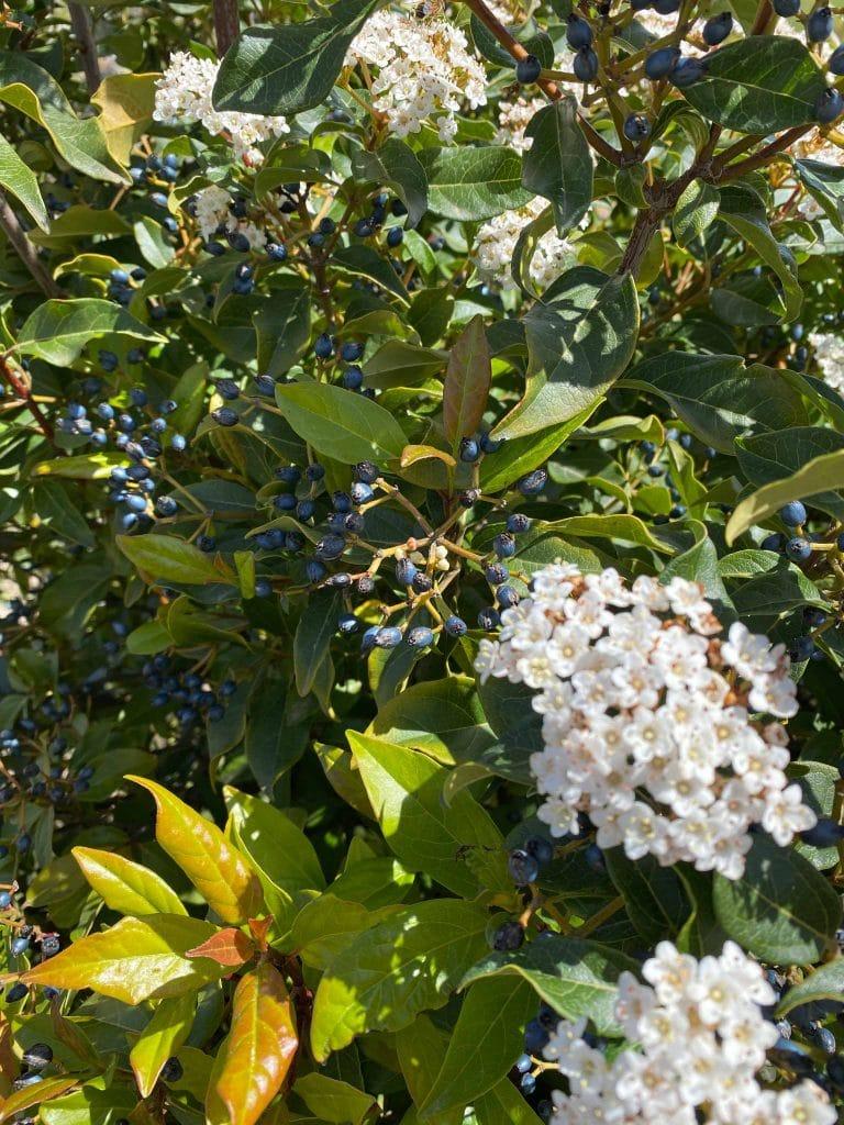 Durillo. Viburnum tinus