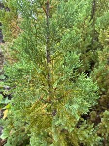 Enebro de la china. Juniperus chinensis
