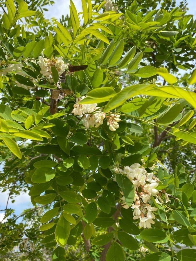 Falsa acacia. Robinia pseudoacacia