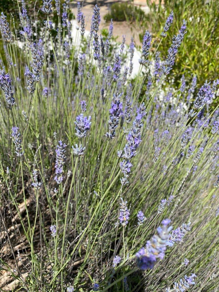 Laurel. Lavanda. Lavandula angustifolia nobilis