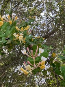 Madreselva silvestre. Lonicera implexa