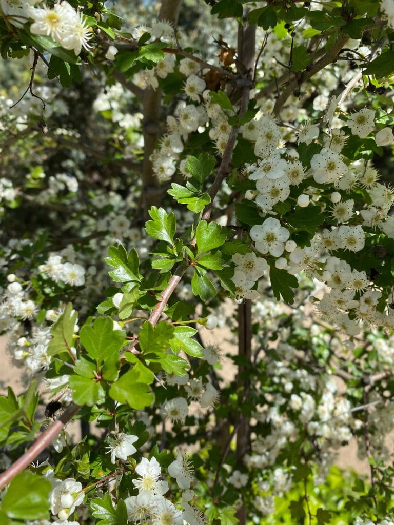 MagnMajuelo, Espino albar. Crataegus monogynaolia. Magnolia grandiflora.