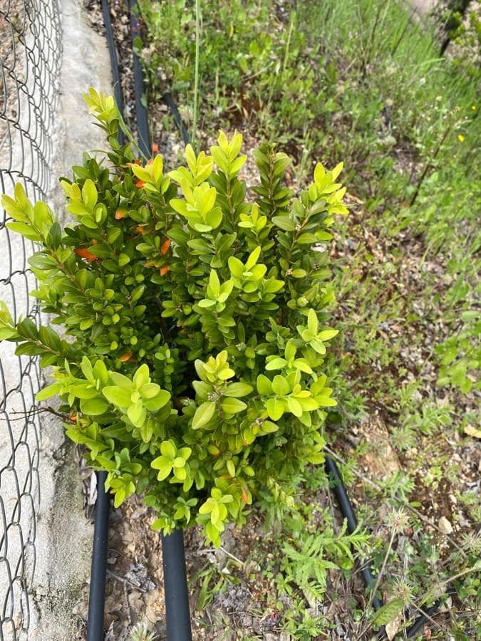 Mirto. Myrtus communis