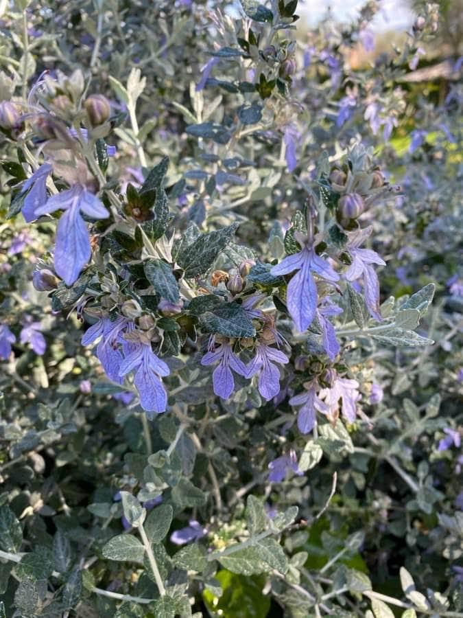 Nueza Olivilla. Teucrium fruticansnegra. Dioscorea communis