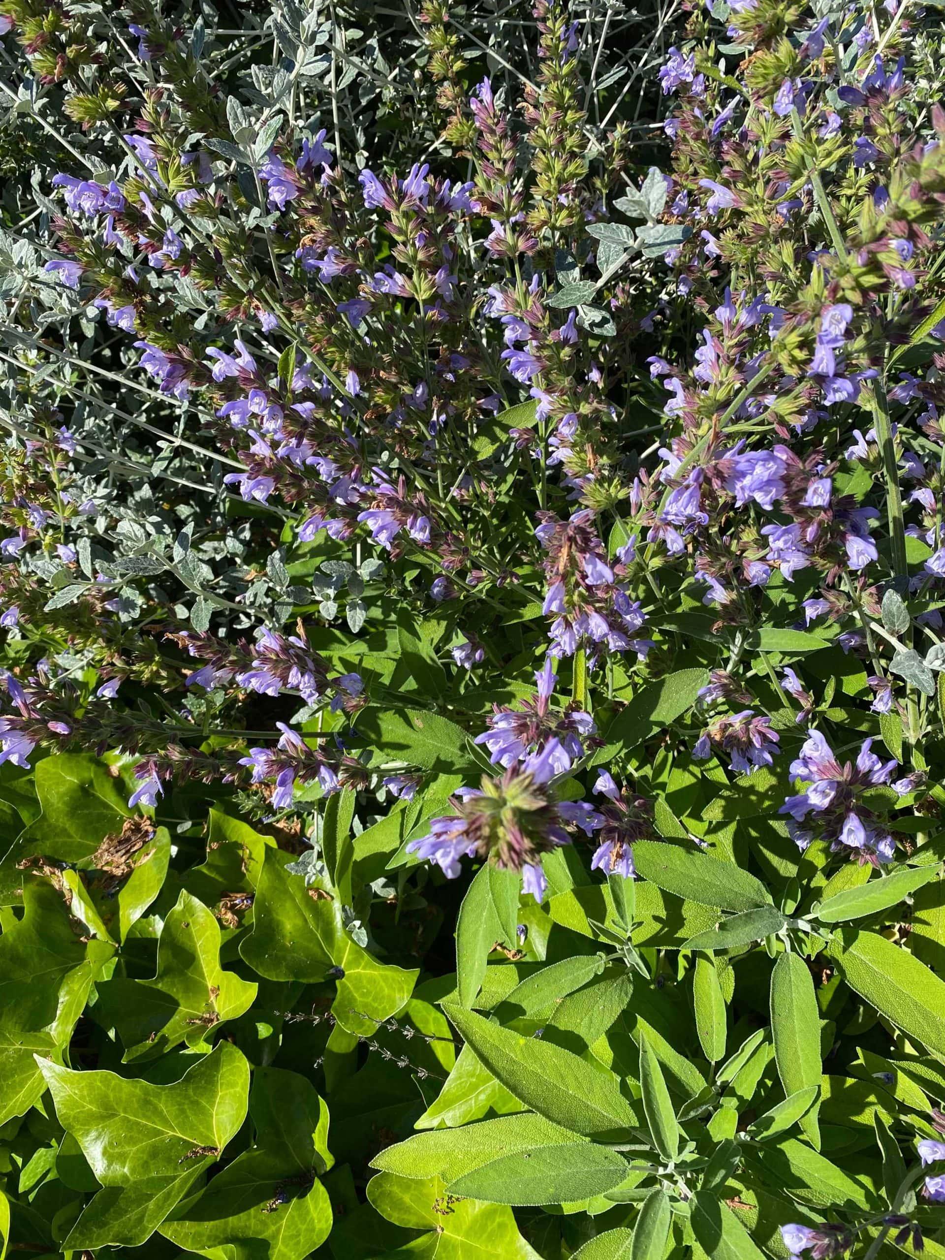 Salvia. Salvia officinalis