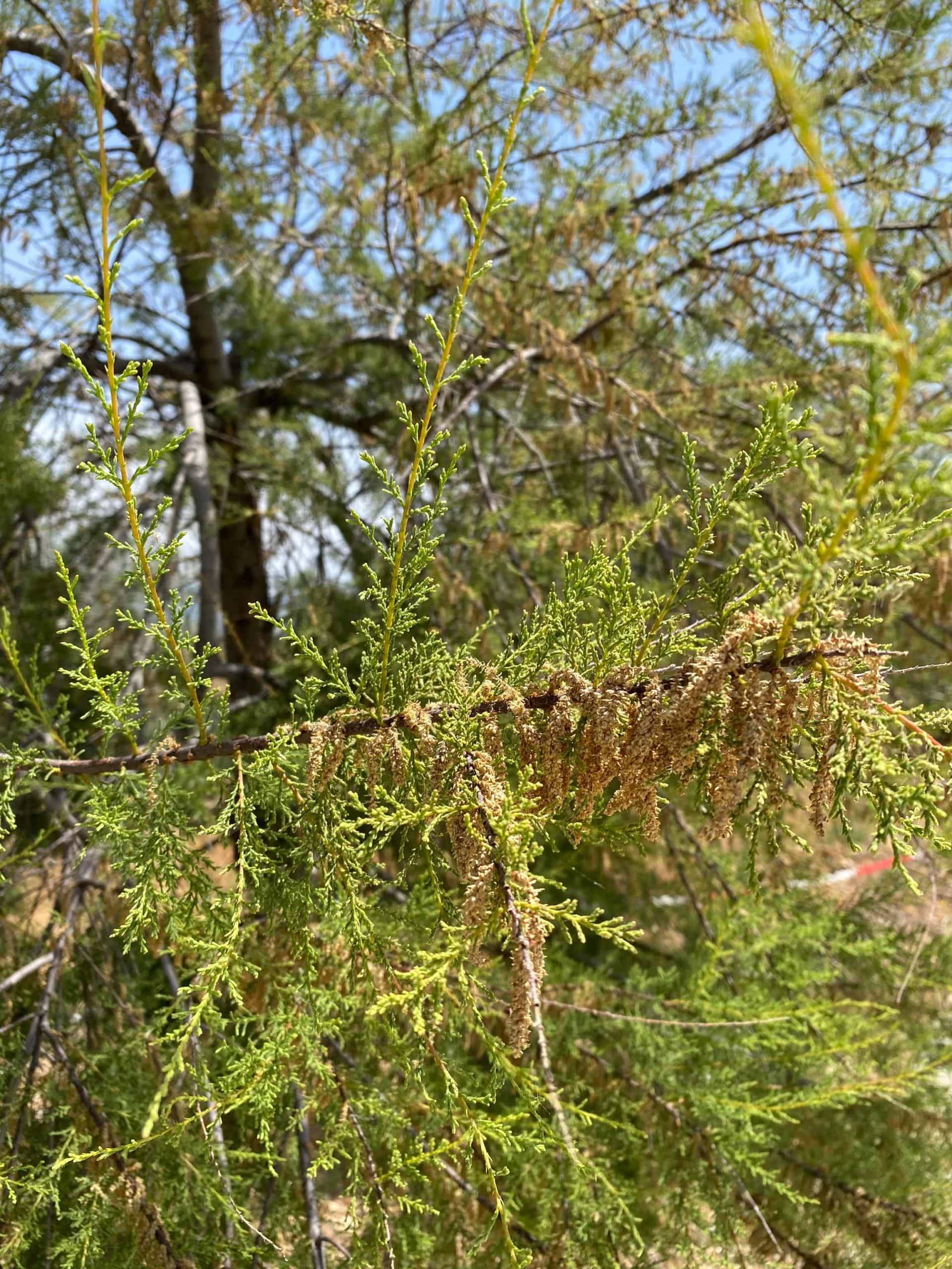Taray. Tamarix gallica