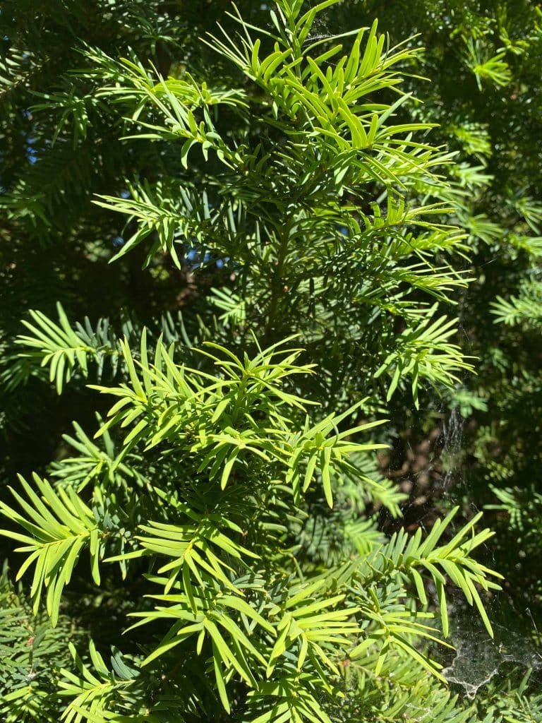 Tejo. Taxus bacata