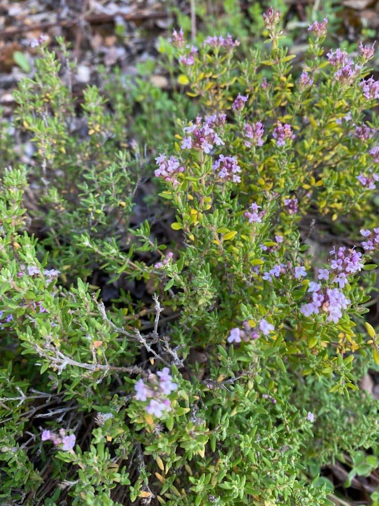 Tomillo. Thymus vulgaris.
